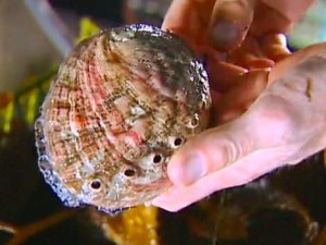 Farmed Abalone