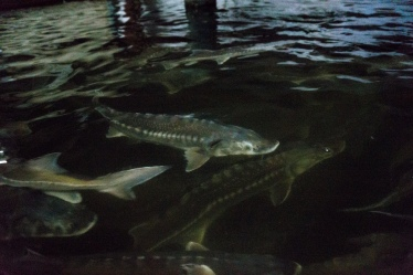 White Sturgeon in large tanks.